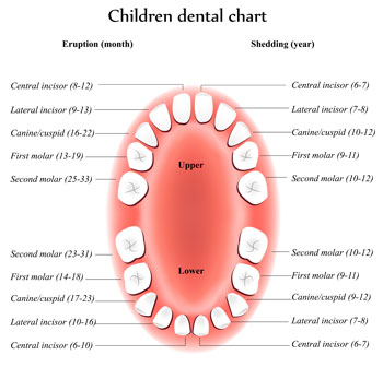 Tooth Eruption Chart - Pediatric Dentist in Silver Spring, MD